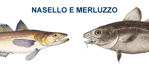 differenza tra nasello e merluzzo